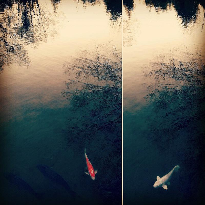 黄昏時の恋じゃなくて鯉