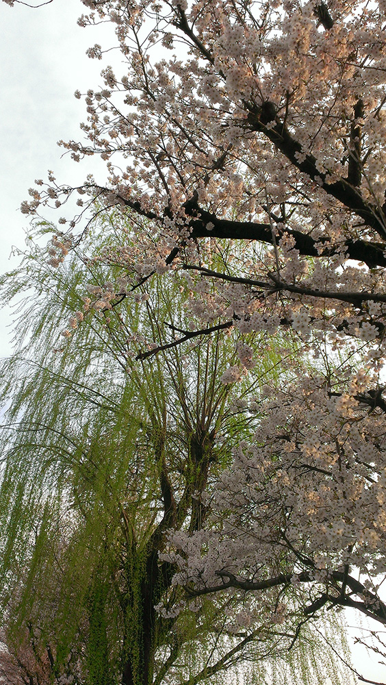 柳と桜01