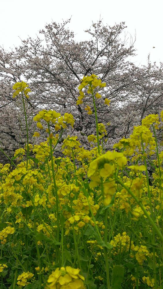 菜の花と桜02
