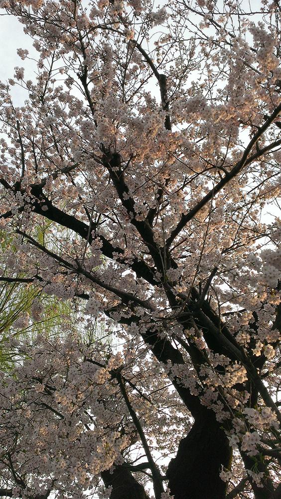 近所の学校の桜