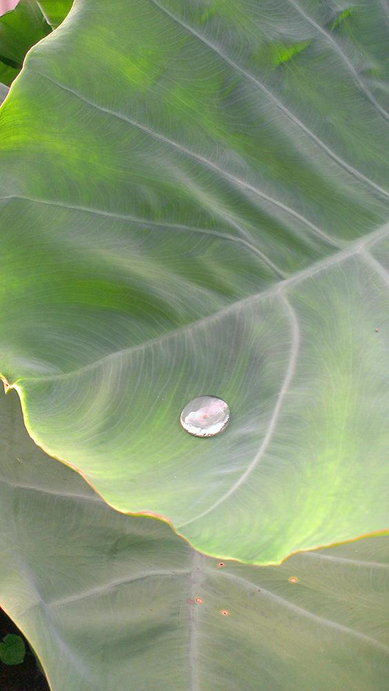 里芋の葉にひとしずく