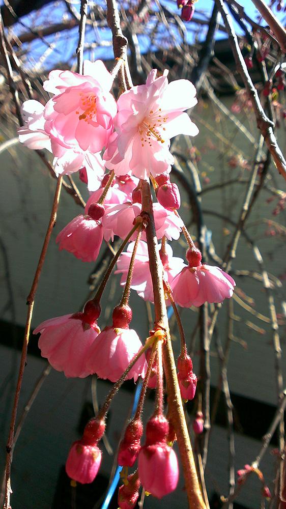 八重紅枝垂桜01