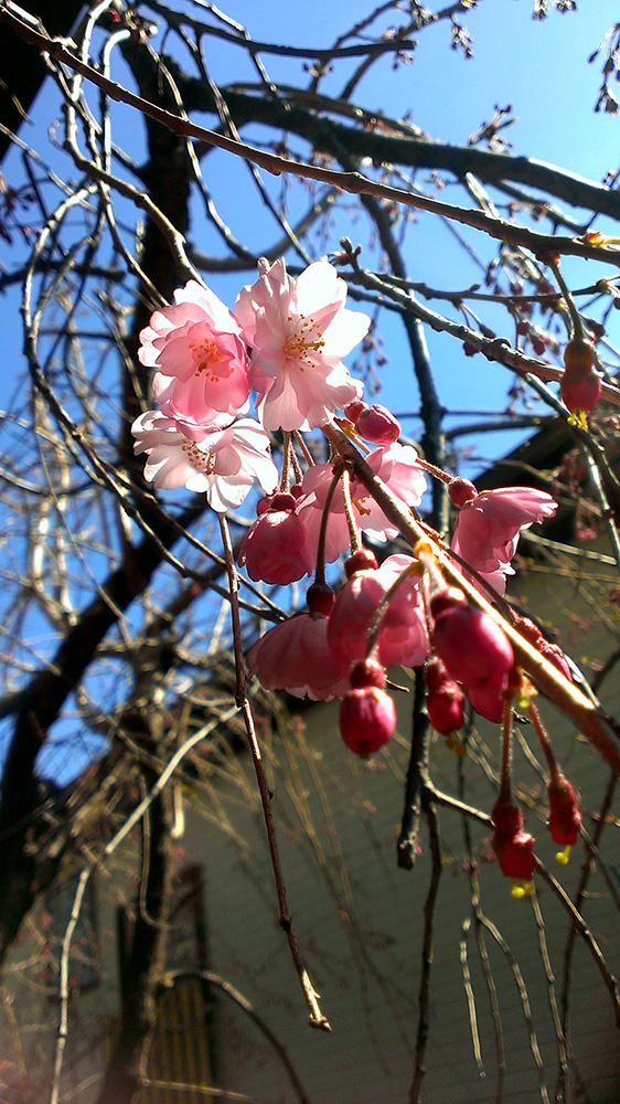 八重紅枝垂桜02
