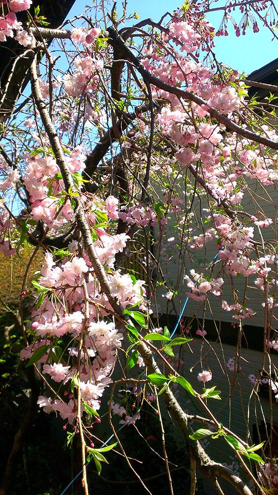庭の枝垂れ桜七部咲き01