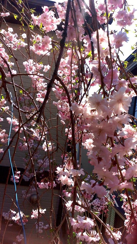 庭の枝垂れ桜七部咲き02